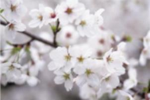 Cherry Tree Image
