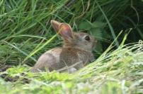 Baby rabbit in long grass