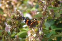 Butterfly on bramble flowers