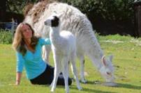Lady sitting on grass next to a llama with baby llama